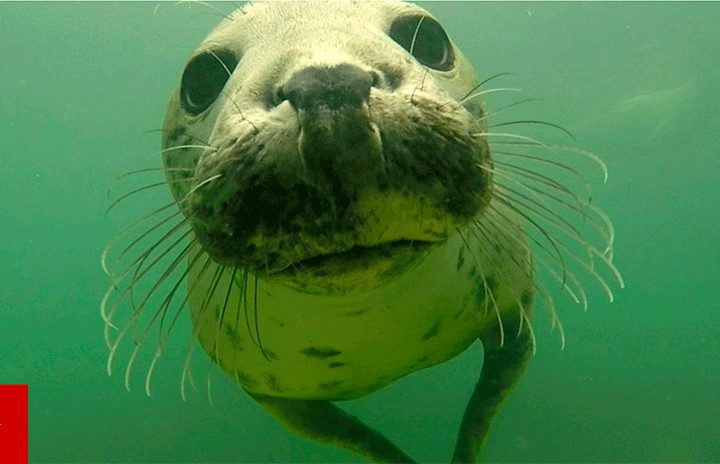 Newcastle University films grey seals clapping underwater