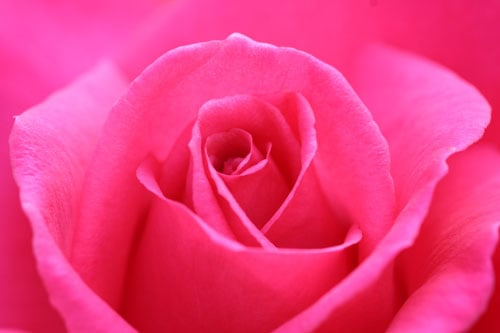 English Rose – a short poem